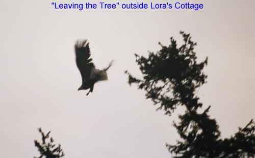 Picture of an eagle leaving the tree near Lora's Cottage