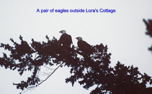 Picture of a pair of eagles in a tree about 100 feet from Lora's Cottage