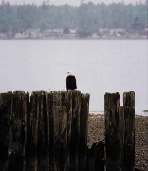 Pictuer of an eagle sitting on pilings at the beach