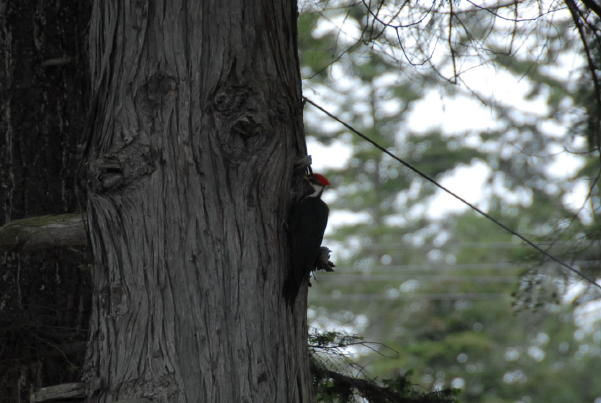 Picture of a Red Crested Woodpecker on a tree near the beach